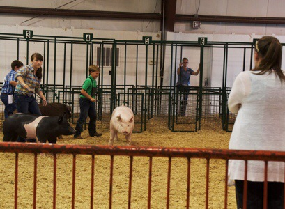 Showing His York Barrow Pig