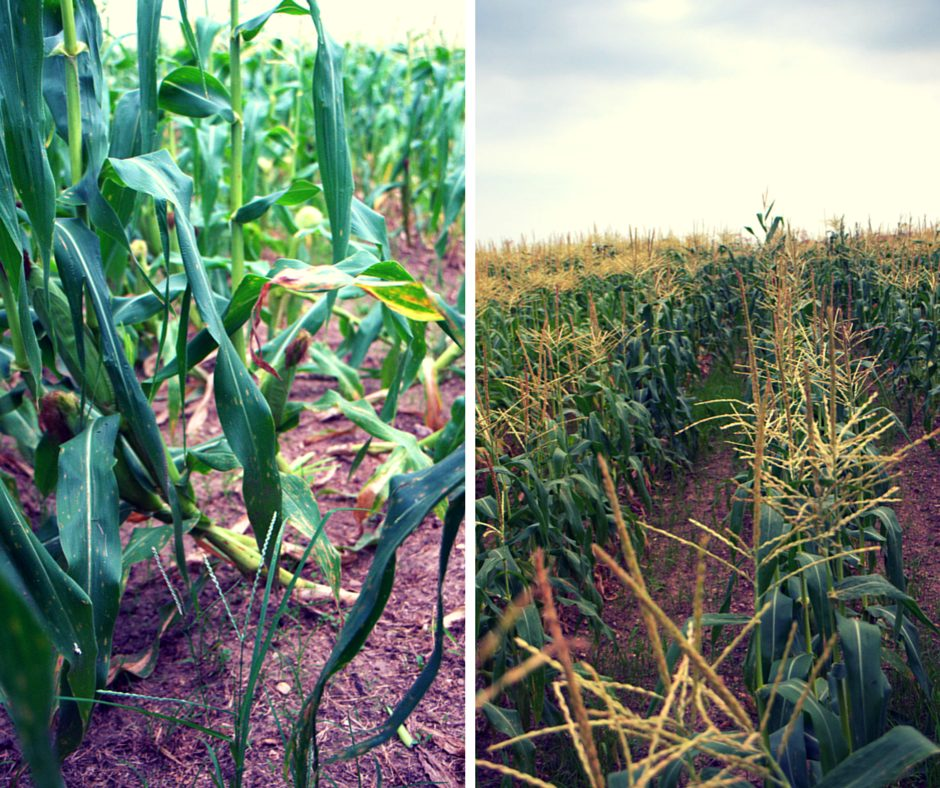 The impact of too much rain on a sweet corn field.