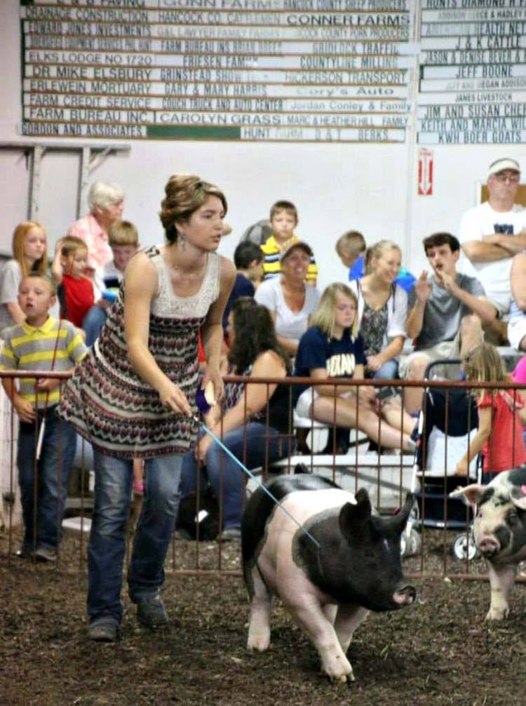 showing 4-H pigs